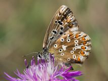 Free The Chalkhill Blue Polyommatus Coridon Is A Butterfly In The Family Lycaenidae. Royalty Free Stock Photo - 124622835