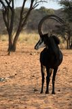 The Chief Of The Herd Stock Photo