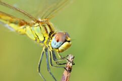 Free The Closeup Of Dragonfly Compound Eyes In Green Background , Anisoptera Royalty Free Stock Image - 170680936