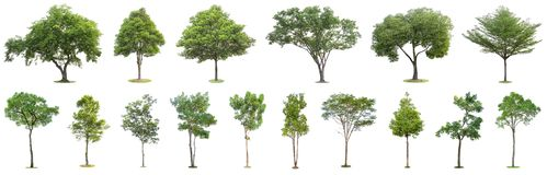 Free The Collection Of Trees Isolated On White Background. Beautiful And Robust Trees Are Growing In The Forest, Garden Or Park Stock Photo - 145453430