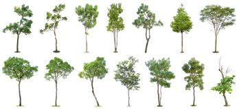 Free The Collection Of Trees Isolated On White Background. Beautiful And Robust Trees Are Growing In The Forest, Garden Or Park Stock Images - 145578234