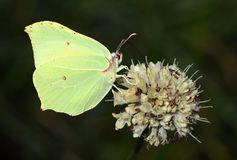 Free The Common Brimstone Butterfly Or Gonepteryx Rhamni Royalty Free Stock Photos - 156867238