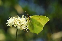 Free The Common Brimstone Butterfly Or Gonepteryx Rhamni Stock Photos - 170682593