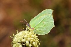 Free The Common Brimstone Butterfly Or Gonepteryx Rhamni , Butterflies Of Iran Royalty Free Stock Photography - 170680387