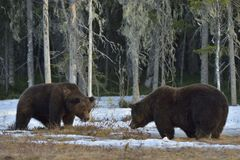 Free The Conflict Of Two Brown Bears For Domination Royalty Free Stock Image - 71876936