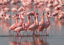 The Courtship Dance Flamingo. Kenya. Africa. Nakuru National Park. Lake Bogoria National Reserve. Stock Image