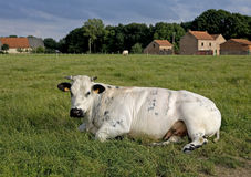 Free The Cow Royalty Free Stock Photos - 5573528