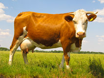 The Cow In Pasture Stock Photos