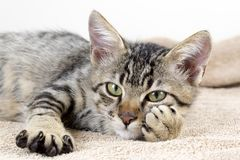 Free The Cute Kitten Cat Stock Images - 120132194