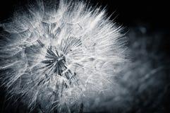 Free The Dandelion. Cyan Toned Photo Stock Photography - 20230122