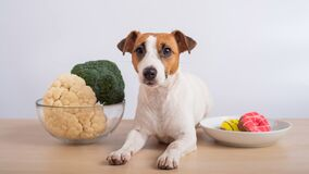 Free The Dog Chooses Food. Jack Russell Terrier Between Plates Of Broccoli And Cauliflower And Donuts. Stock Photo - 215427070