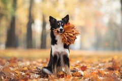 Free The Dog Holds Yellow Leaves In The Tooth. Border Collie In The Park. Autumn Mood, Royalty Free Stock Photography - 158287707