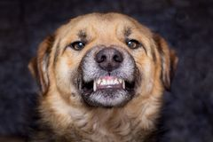 Free The Dog Shows Teeth. Angry Dog Is Ready To Bite. Caution Is An Evil Dog_ Royalty Free Stock Photo - 140780405