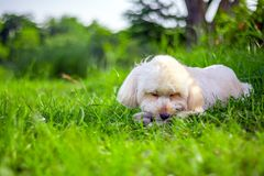 Free The Dog Sleep At The View, Looking Up Brown Cute Poodle Puppy Sitting On Ground, Cute White Poodle Dog On Green Park Background, Royalty Free Stock Photo - 154773905
