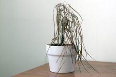 Free The Dried House Plant Dracaena Stock Photo - 118080970