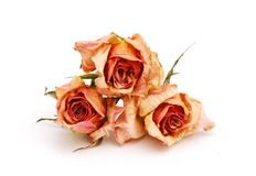 The Dry Roses Stock Image