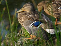 Free The Ducks. Stock Photos - 3022563