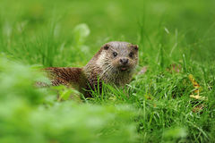 Free The Eurasian Otter Lutra Lutra Stock Image - 98382581