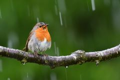 Free The European Robin, In A Rainy Day. Stock Image - 162925001