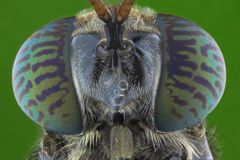 Free The Extreme Close Up Of Soldier Fly Royalty Free Stock Photos - 155337128