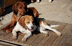 The Family Dog Royalty Free Stock Image