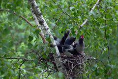 Free The Family Of Crows Stock Image - 118184371