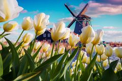 Free The Famous Dutch Windmills Among Blooming White Tulip Flowers Royalty Free Stock Photos - 131223208