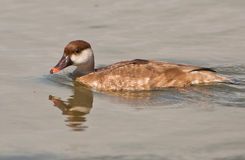 The Female Red-crested Pochard Royalty Free Stock Images