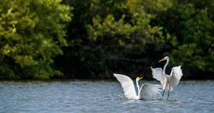 The Fighting Great Egrets Royalty Free Stock Images
