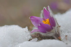 Free The First Flower Pulsatilla Grandis Stock Photography - 97814962