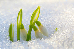 The First Snowdrops Stock Photo
