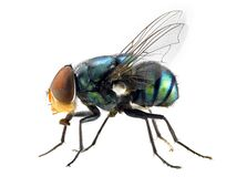 Free The Fly Royalty Free Stock Photo - 5598125