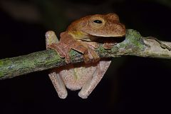 Free The Frog Of Sabah, Borneo. Stock Images - 124688344