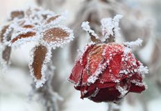 Free The Frozen Rose Stock Image - 18071281