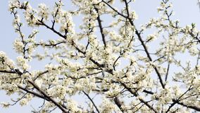 Free The Full Blooded Pear Blossom Of A Warm Spring Day. Royalty Free Stock Image - 199160106