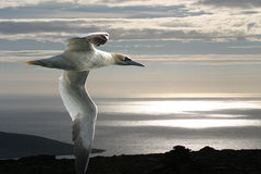The Gannet And The Arctic Ocean. Stock Images