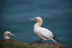 Free The Gannets Royalty Free Stock Photos - 25937208