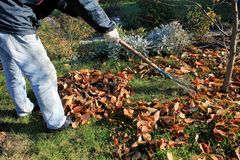 Free The Gardener Rakes Up A Pile Of Fallen Autumn Leaves In The Garden. Royalty Free Stock Photo - 131535635