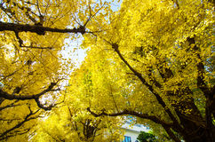 The Ginkgo Trees In Garden Stock Images