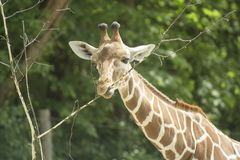 Free The Giraffe Eating Royalty Free Stock Photos - 160034398