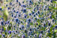 Free The Globe Thistle, Veitch S Blue (Echinops Ritro) Royalty Free Stock Images - 27973229