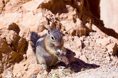 The Golden-mantled Ground Squirrel (Callospermophilus Lateralis) Royalty Free Stock Image