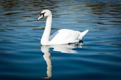 Free The Graceful Mute Swan Stock Photo - 14581480