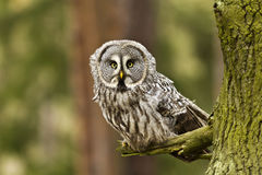 The Great Grey Owl Or Lapland Owl, Strix Nebulosa Royalty Free Stock Photos