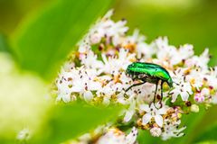 Free The Green Bug On The Flower Of The Sambucus Nigra Stock Photos - 139158493