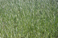 Free The Green Spring Rye Field Stock Photos - 41037793