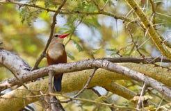 The Grey-headed Kingfisher Royalty Free Stock Photography