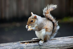 The Grey Squirrel In One Of London Parks Stock Photography