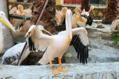 The Happy Swan Stock Photo