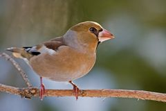 Free The Hawfinch Stock Photography - 7738932